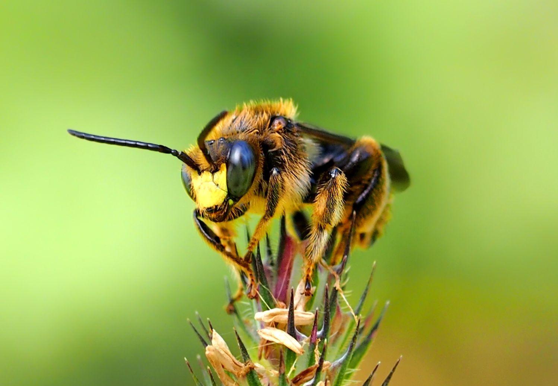 Přistát na pichlavé rostlince musí být odvážné pro malou včelku..